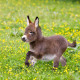dwarf-donkey
